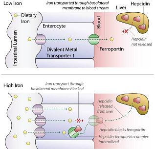 Metabolismo de ferro e anemia por deficiência de ferro