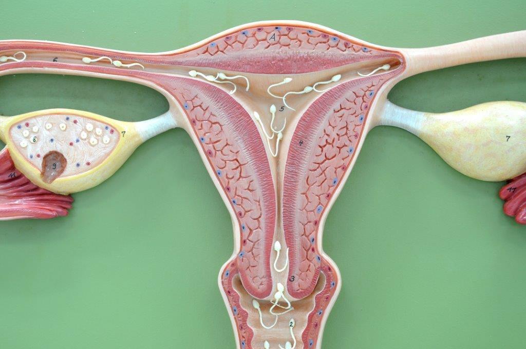 funcões das hormonas sexuais femininas