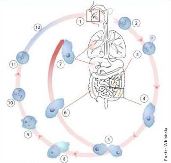 ciclo de vida da infeção por Entamoeba histolytica (amebíase)